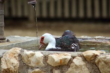 Ente im Brunnen