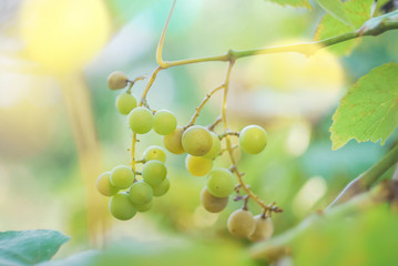 Sunlight close up grapes white wine on tree with branch and green bokeh background. White grapes at vineyard. Spoiled white grapes