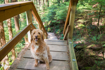 Labradoodle dog on a forest walking path.