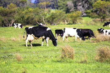 Livestock heard of cow and cattle grazing in countryside green pasture field farm