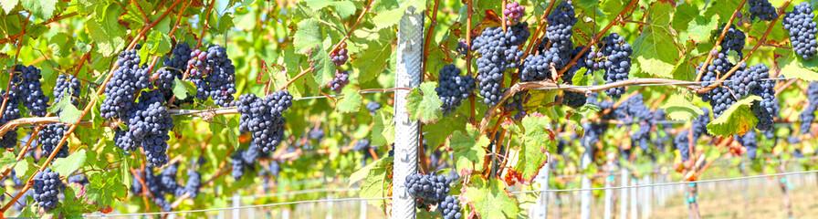 Blaue Weintrauben an Rebstock Panoramabild