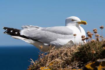Herring Gull, Sea  Gull, Larus argentatus