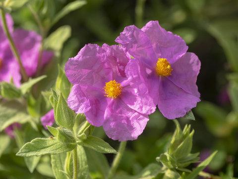 Cistus albidus. Fleurs de Ciste cotonneux des garrigues de Provence