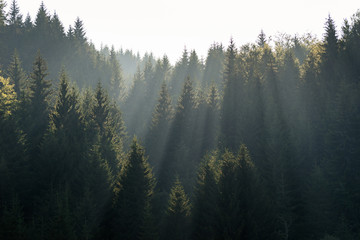 The sun rays in the haze fall through the branches of green firs and pines