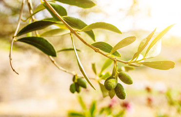 close-up of green olives on branch of olive tree
