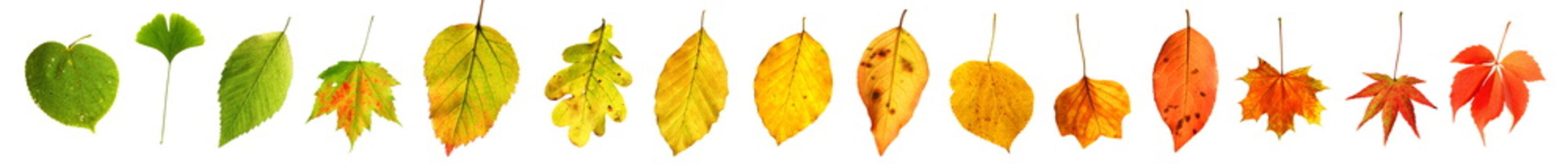 Farbgradient grün nach rot Herbstblätter Herbst Laub freigestellt