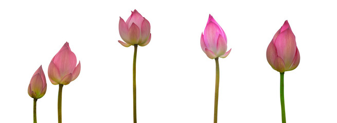 Collection of Isolated pink lotus bud on a white background , A beautiful pink lotus bud from Thailand Fotobehang