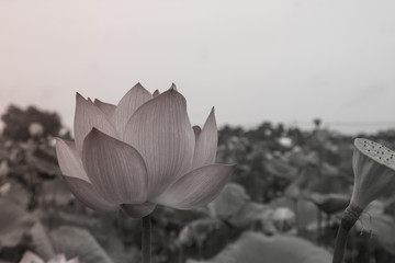 A picture of a black and white lotus in a garden