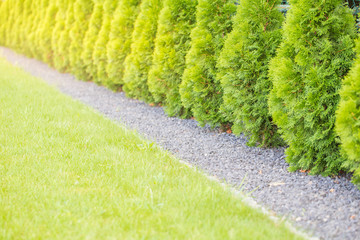 Fuzzy background of thuja garden fence. Wall mural