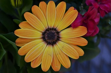 Close-up of beautiful yellow and orange cape daisy blossom