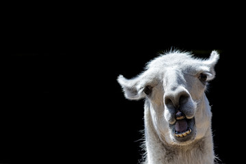 Photo sur Plexiglas Lama Stupid looking animal. Goofy llama. Funny meme image with copy-space. Dumb animal with silly expression isolated against black background for customised message or text.