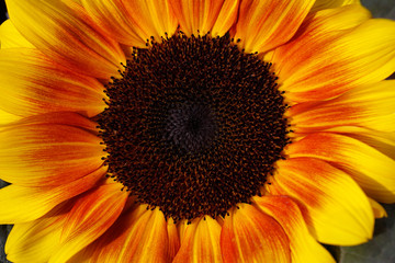 Portrait of sunflower in the summer garden