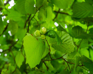 A cluster of hazelnuts among the leaves on a tree.