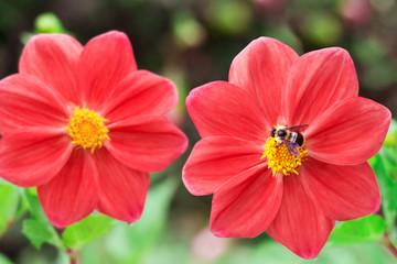 Bee and hybrid dahlia flower