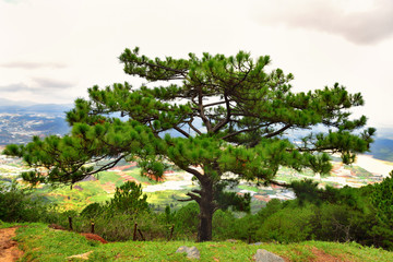 Pine tree on Lang Biang mountains natural park in Dalat, South Vietnam