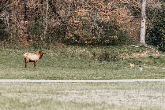 Elk grazing in North Carolina