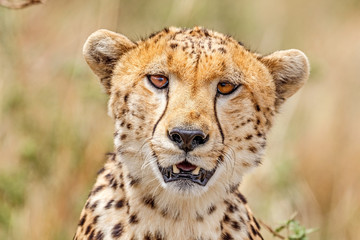 Closeup portrait of Cheetah face looking at the camera