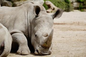 big rhino rests in the summer heat
