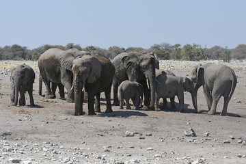 Afrikanische Elefanten (loxodonta africana) im Etosha Nationalpark (Namibia)