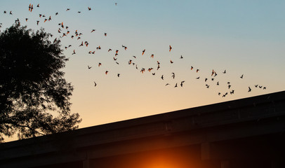 Mexican free-tailed bat in flight from the Yolo Bypass Wildlife Area in Davis CA