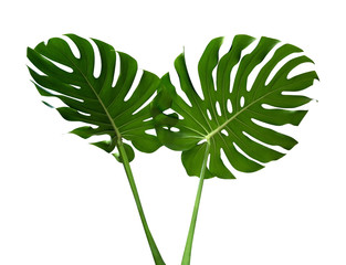 Two green monstera plant leaves with stalk, the tropical evergreen vine isolated on white background, clipping path included