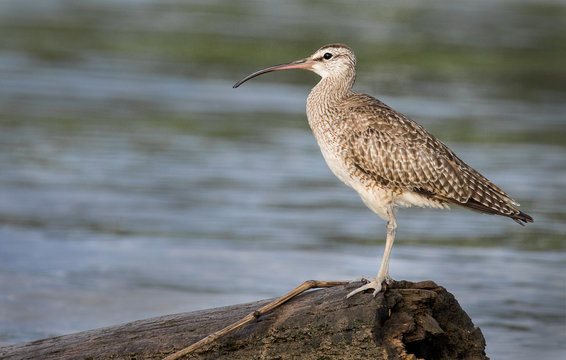 A whimbrel photographed in Costa Rica