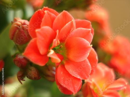 Macro Avec Une Fleur Rouge De Kalanchoe Sur Fond De Fleurs Et
