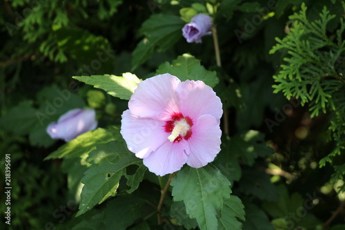 Hibiscus syriacus or rose of sharon or syrian ketmia or rose mallow hibiscus syriacus or rose of sharon or syrian ketmia or rose mallow or st josephs rod mightylinksfo