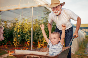 Grandfather and grandson check harvest of tomato in greenhouse