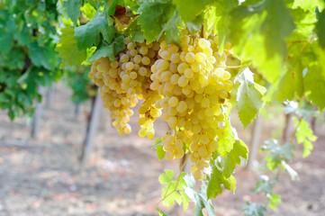 White grape in a wineyeard Fototapete