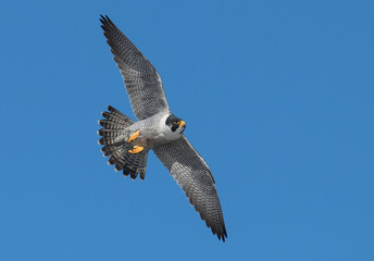Peregrine Falcon on a Cliff