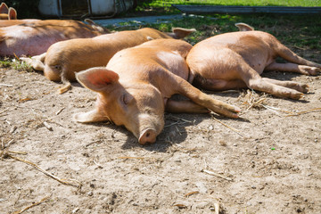 A group of lazy ginger pigs lying down and sleeping happily in the sunshine in a dusty pig sty.