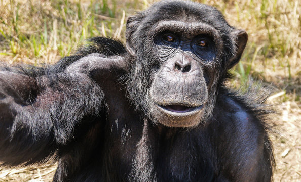Wild Chimpanzee in Zambia
