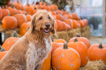Cute golden labradoodle dog sitting in front of a bunch of pumpkins on a farm.
