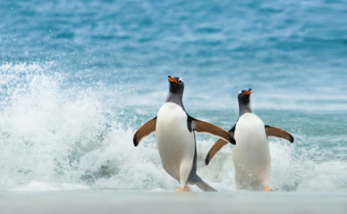 Two Gentoo penguins coming ashore from Atlantic ocean