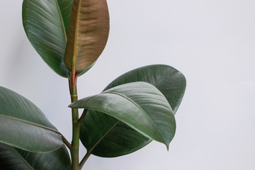 Ficus elastica tree with white background