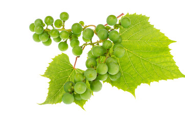 Branch of green unripe grapes with leaves on white background