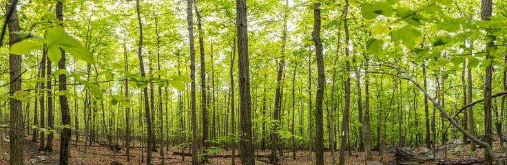 New Growth on The Appalachian Trail Panorama