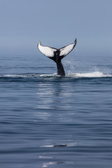 Humpback Whale Raising Its Beautiful Tail Out of the Atlantic Ocean