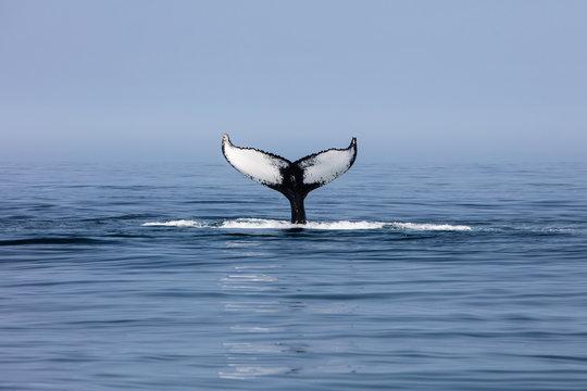 Humpback Whale Fluke off Cape Cod, MA