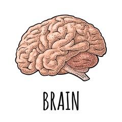Human anatomy brain. Vector color vintage engraving illustration