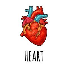 Human anatomy heart. Vector black vintage engraving illustration