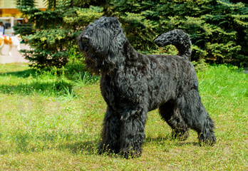 Giant Schnauzer ready. The Giant Schnauzer stands on the green grass in city park.