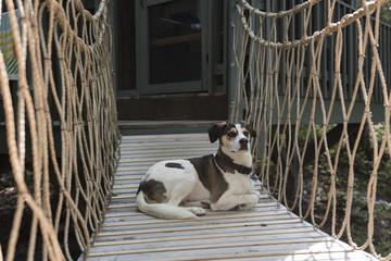 Hound dog laying on rope bridge