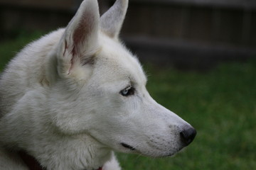 portrait of purebred male siberian husky outside