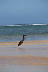 Black heron in Rarotonga
