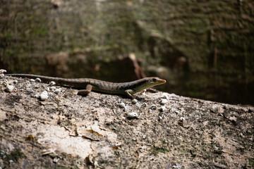 Skink Lizard on a log 2