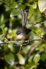 New Zealand Fan tail on a branch