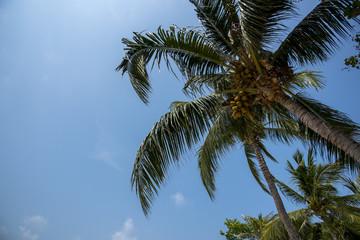 Coconut palm tropical tree against blue sky sea beach