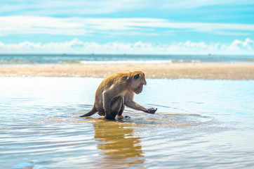 Monkeys on the tropical beach with blue sky background at Huahin, Thailand